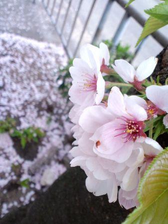 大仙公園桜20110404 02_450