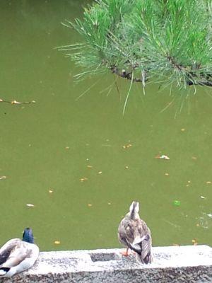 大仙の鴨20110703  02_400
