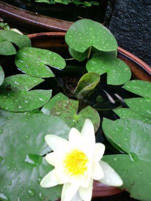 雨の七夕2011070704_400