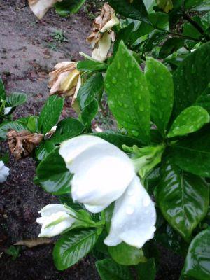 雨の七夕20110707 02_400