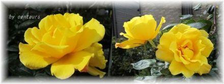 2011黄バラ