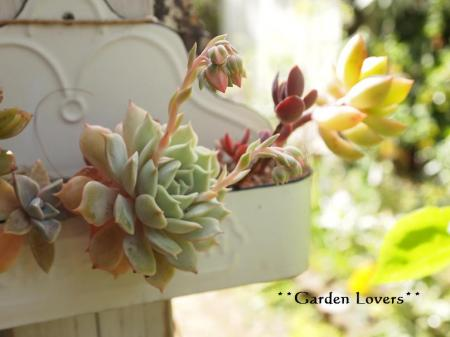 ファンクイーンの花芽
