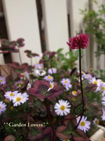 ティントロゼの花