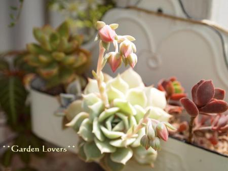 ファンクイーンの花