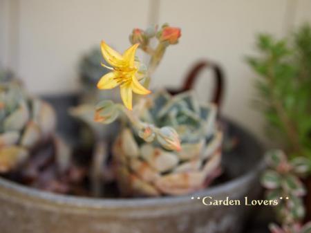 群月冠の花