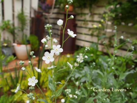 かわいい白小花