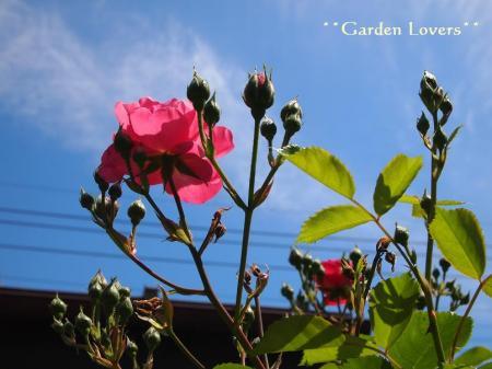 アンジェラ一番花