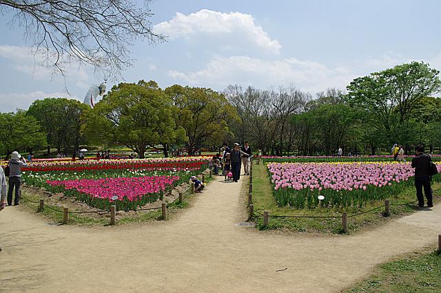 チューリップの花が~