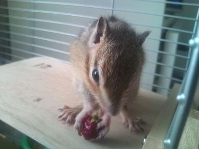 輝、ワイルドストロベリーを食べる