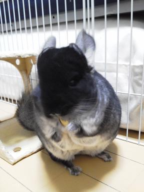加奈ちゃん、自家製ドライアップルを食べる
