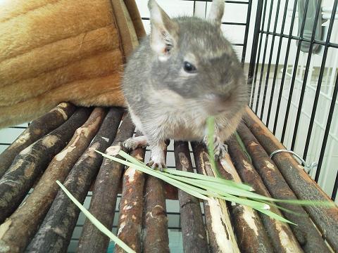 収穫した大麦若葉を食べるティノくん♪