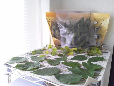 桑の葉、ワイルドストロベリーの葉、乾燥中~♪