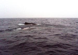 ザトウクジラ3