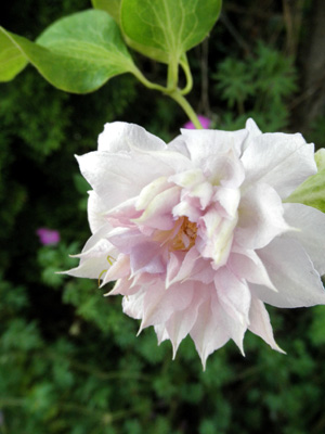 八重咲きクレマチス