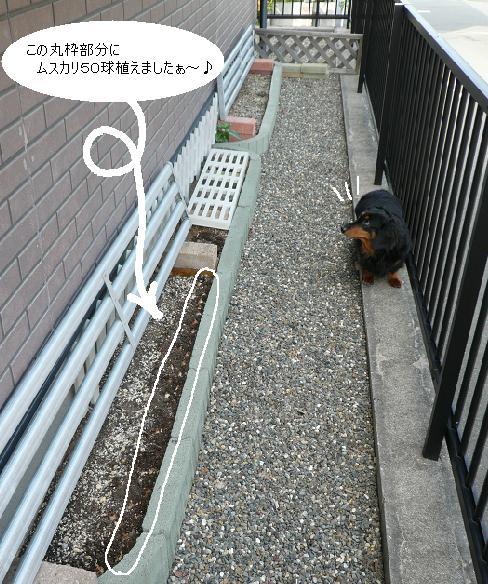 P1340926_チョコと花壇2