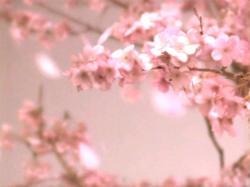 Yana-Sakura0801.jpg