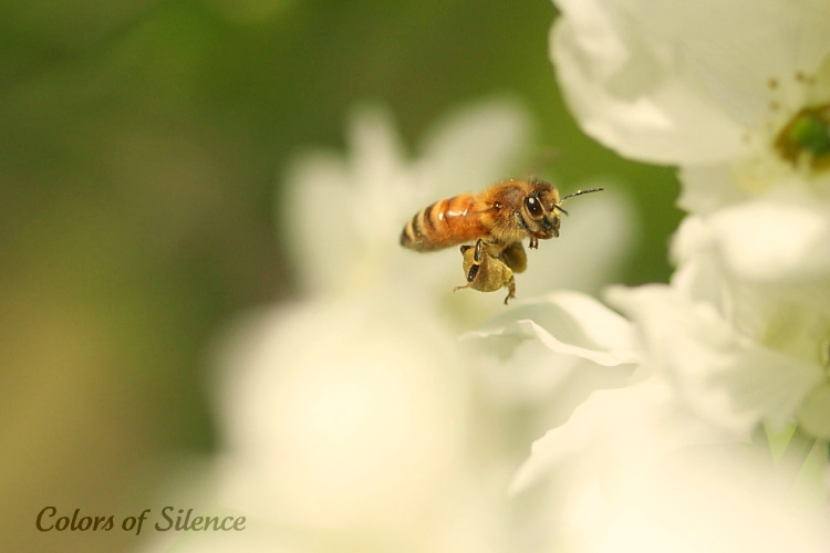 honey bee 2012