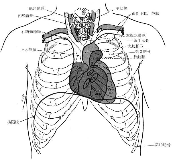 内臓の位置を解剖図で解説 臓器の場所をチェッ …