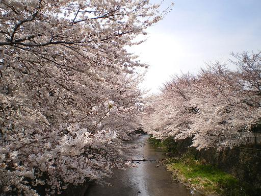 恩田川の桜