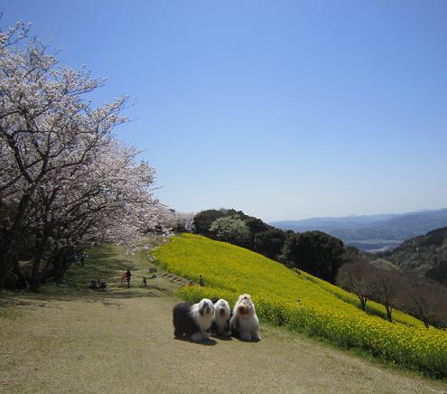 マー牧場の菜の花と桜