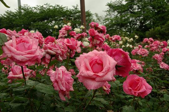110528-11rose garden1