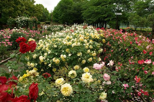 110528-12rose garden5