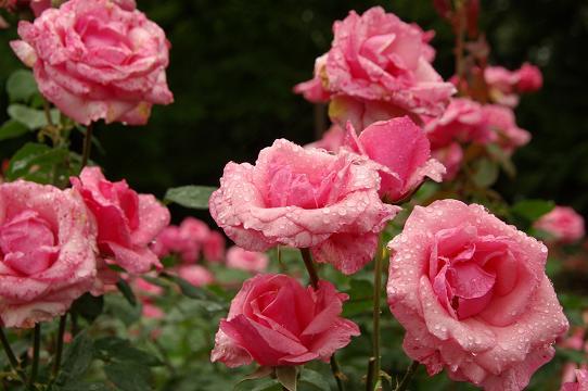 110528-13rose garden3