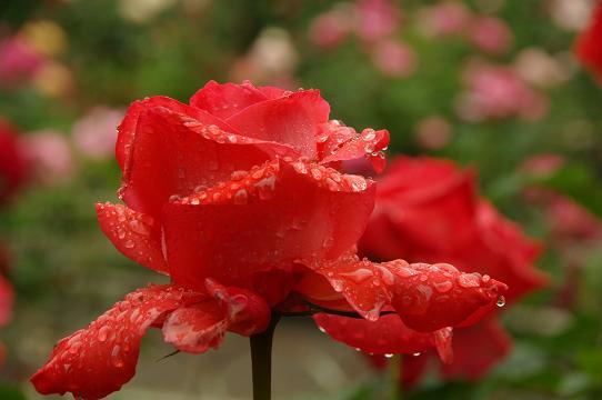 110528-14rose garden4