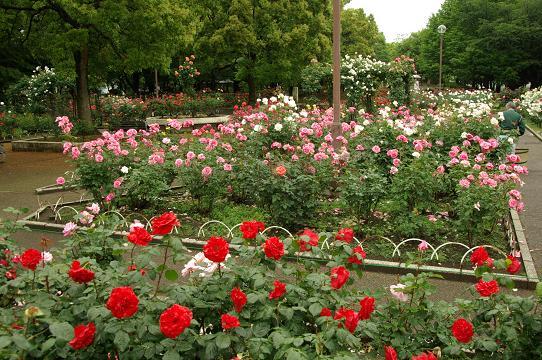 110528-15rose garden2