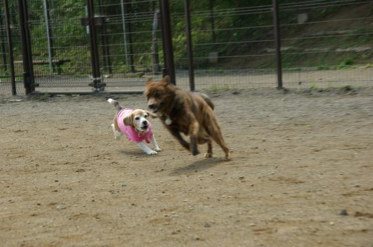 110604-22cookykai dog run2