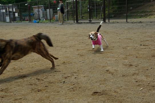 110604-23cookykai dog run3
