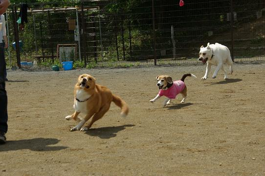 110604-26dog,cookylav run