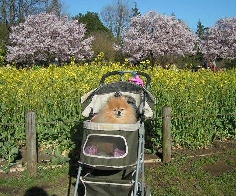 桜と菜の花~