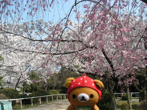 あたちと桜