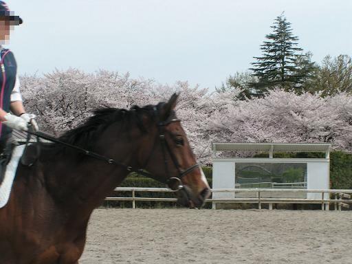 お馬さんと桜
