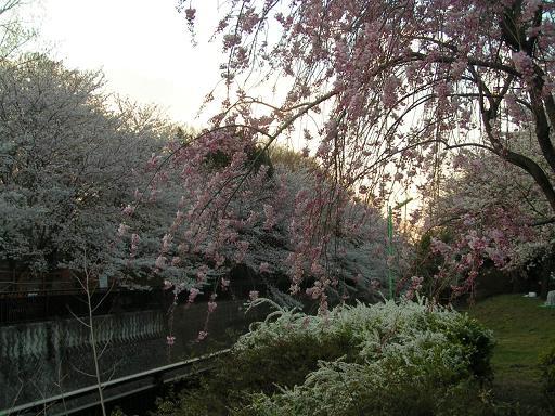 夕暮れの桜