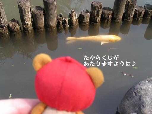 金色の鯉~♪