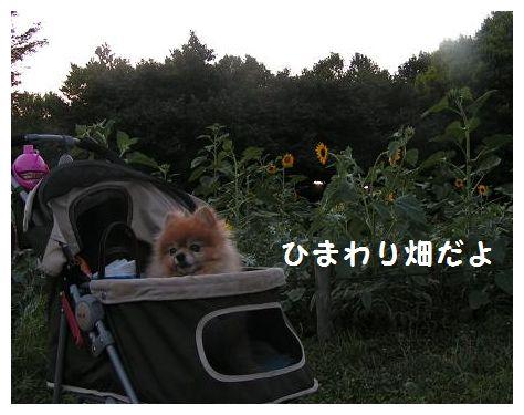 ひまわりが咲いたよ~