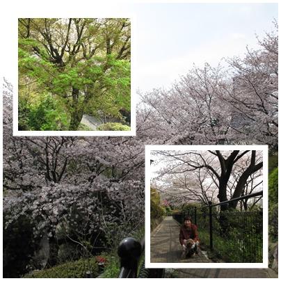 西郷山公園の桜 満開です♪