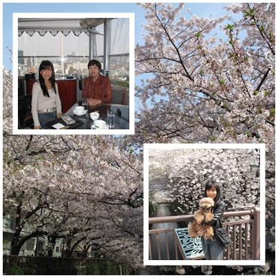 目黒川の桜 これまた満開です♪