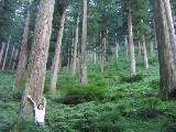 吉野杉の美林
