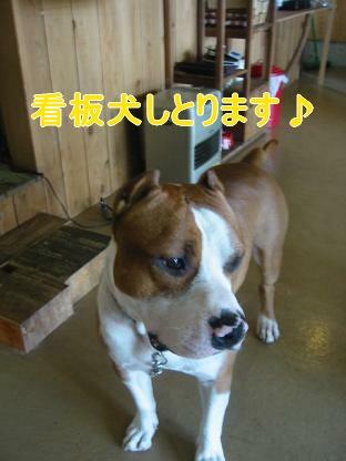 看板犬の俺②