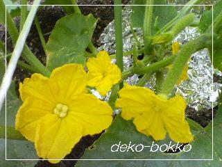 きゅうりの花 2011.6