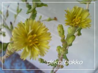 サニーレタスの花