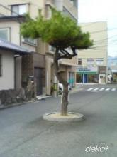 吉見園の松並木-2