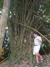 マレーシアの竹