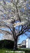 千葉県八千代市の桜2011(3)