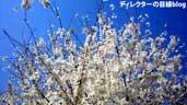 千葉県八千代市の桜2011(4)