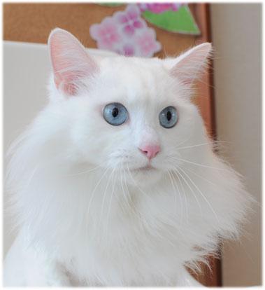 猫 マリア