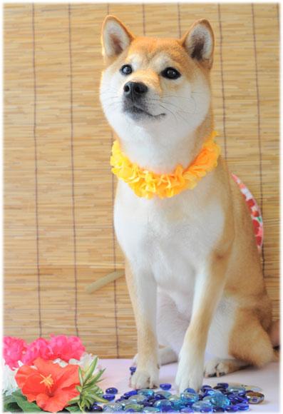 柴犬 ポコ